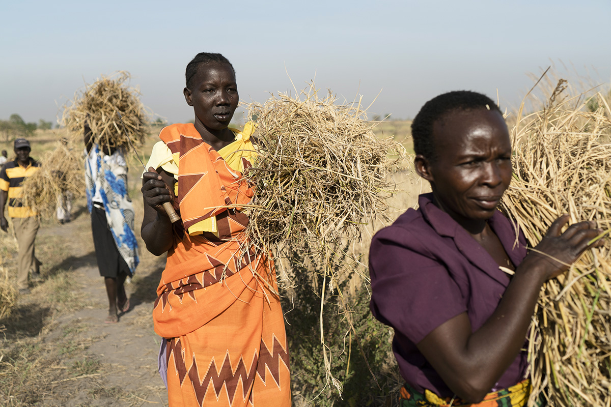 South Sudanese refugee Elizabeth (left) carries rice she has harvested. Elizabeth works with her fellow refugees on a 7-acre farm in Northern Uganda, where they also grow cassava, a starchy root vegetable. UNHCR partners with the Ugandan government to help refugees start businesses as soon as they are settled.